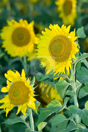 Sunflowers stock photo, Sunflowers in a farmers field growing tall by Richard Nelson