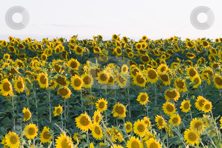 Sunflower Field stock photo, A field full of vibrant sunflowers ready to be harvested by Richard Nelson