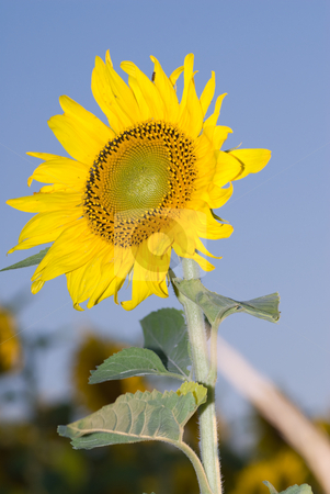 Sunflower stock photo, A tall sunflower growing high into the sky by Richard Nelson