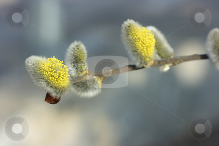 Blooming pussy-willows stock photo, Extreme close-up of blooming pussy-willows. by Natalia Macheda