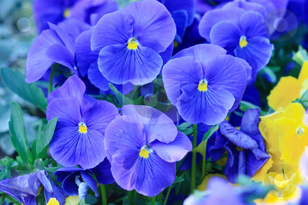 Blue pansies stock photo, Flower-bed of blooming blue pansies by Natalia Macheda