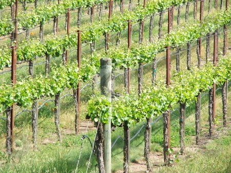 California Vineyards  stock photo, Springtime in California's tourist friendly Sonoma and Napa Valleys means tidy vineyards with fresh growth, narrow winding roads, and interesting wineries offering travelors an unforgetable wine tasting experience. by Dennis Thomsen