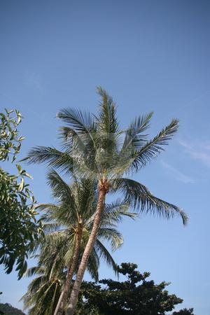 Coconut trees stock photo, Coconut trees Koh Samui Island thailand by EVANGELOS THOMAIDIS