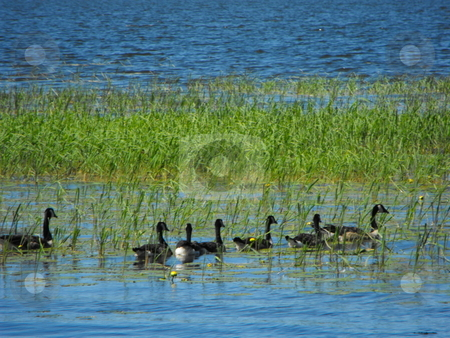 Canadian Geese Feeding stock photo, A flock of Canadian Geese move though rice plants on a Minnessota lake searching for food at the end of summer. by Dennis Thomsen