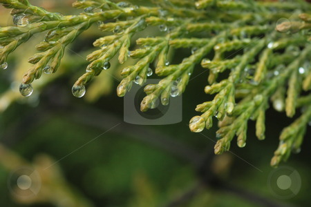 Cypress macro stock photo, Close-up of cypress branch with water droplets on it and copy-space below by Natalia Macheda