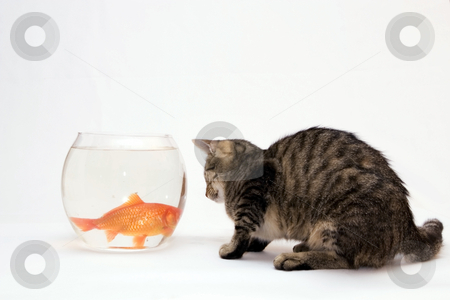 Home cat and a gold fish.