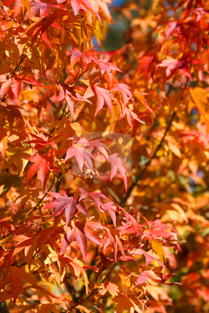 Japanese Maple Tree stock photo, Japanese Maple leaves, swallow depth of field by Laurent Renault