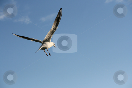 Seagull flight stock photo, Seagull flying in a blue sky by Laurent Renault