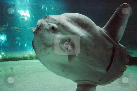 Luna-fish stock photo, Huge luna-fish (mola-mola or oean sunfish) in dark underwater environment. by Natalia Macheda