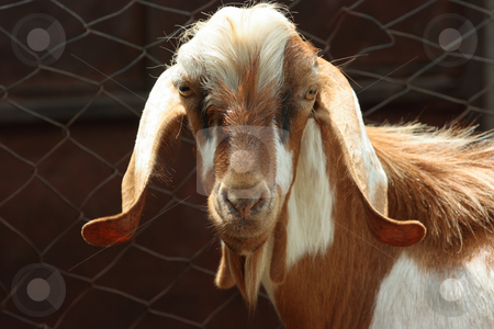 Lop-eared goat stock photo, Portrait of funny lop-eared goat by Natalia Macheda