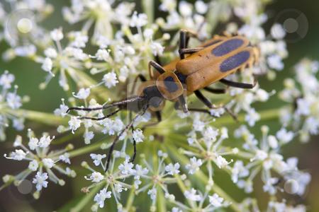 Margined leatherwing beetles stock photo, Margined Leatherwing Beetle (mating) by Jarrod Erbe