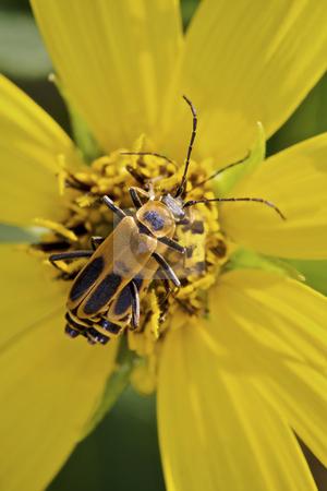 Margined leatherwing beetles stock photo, Margined leatherwing beetles ( mating) by Jarrod Erbe
