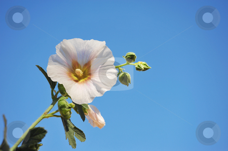Hollyhock And Blue Sky stock photo, A single Hollyhock flower stands againt a light blue sky on a clear day. by Lynn Bendickson