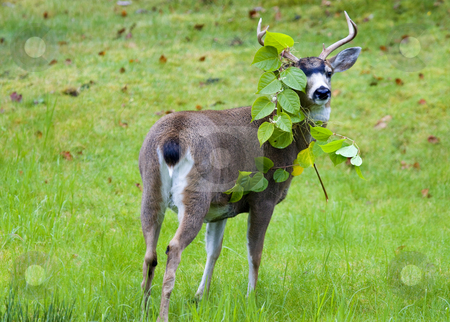 Deer eating garden plants stock photo, A black tail buck cauhgt in act of eating some poor homeowners flowers in Petersburg, Alaska, The Evidence is on his antlers. by Mike Dawson