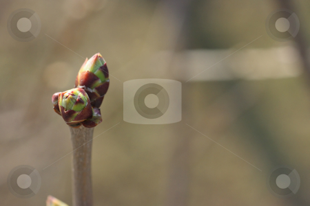 Tree bud with copy-space stock photo, Closeup of tree bud on a greenish background and with copy-space. Shallow depth of field by Natalia Macheda