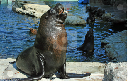 Curious seal stock photo, Curious seal smiling to visitors of zoo near pond by Natalia Macheda