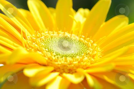 Yellow gerbera close-up stock photo, Macro shot of yellow gerbera head center under sun by Natalia Macheda