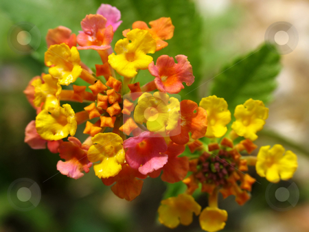 Lantana stock photo, Lantana flower, or butterfly bush by Anita Peppers