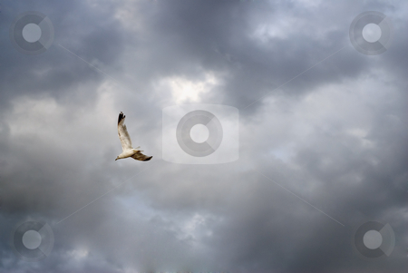 Freedom stock photo, A single seagull flying free, shot against a cloudy sky by Richard Nelson