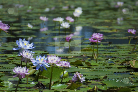 Lily pond stock photo, A pond with pink water lilies by Stephen Gibson