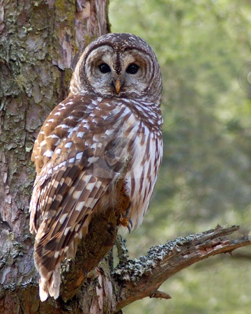 Barred Owl perched on limb stock photo, A mature Barred owl ( Strix varia) perched on pine limb in a mixed pine/hardwood forest in east Tennessee. by Greg Hutson