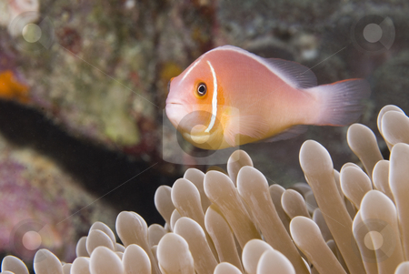 Pink Anemonefish in Micronesia stock photo, A Pink Anemonefish (Amphiprion perideraion) in Micronesia by A Cotton Photo