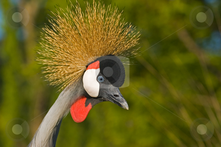 Black crowned crane. stock photo, Black crowned crane. by Pablo Caridad