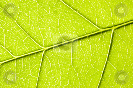 Green leaf close-up. stock photo, Green leaf close-up. by Pablo Caridad
