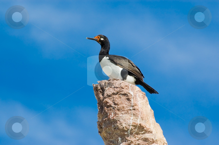 Rock cormorant (Phalacrocorax magellanicus) in Patagonia, Argentina. stock photo, Rock cormorant (Phalacrocorax magellanicus) in Patagonia, Argentina. by Pablo Caridad