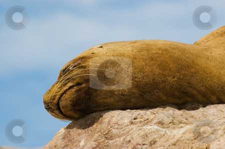Sea Lion in the coast of Patagonia stock photo, Sea Lion in the coast of Patagonia, Argentina. by Pablo Caridad