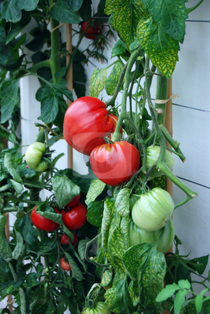 Ripe tomato stock photo, Tomato plant growing under glass with some of the fruit bright red by Paul Phillips