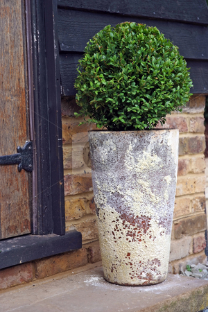 Patio tree stock photo, Bay tree growing in decorative pot on a garden patio by Paul Phillips