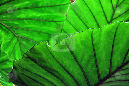 Green abstract stock photo, The green leaves of a tropical plant by Paul Phillips