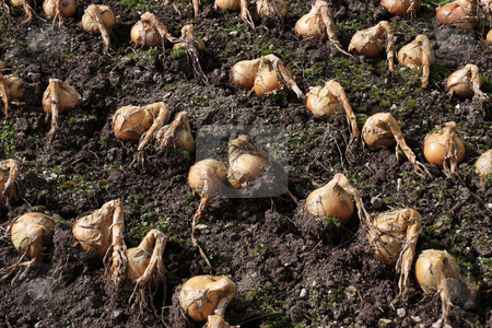 Ready for harvest stock photo, A group of onions drying in the ground before harvest by Paul Phillips