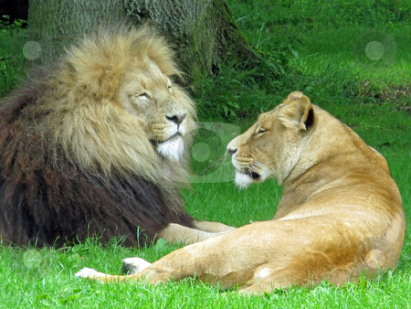 Lion and Lioness stock photo, A male and female lion laying in the grass. by Lucy Clark