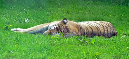 Tiger stock photo, A tiger asleep in the grass in a safari park. by Lucy Clark