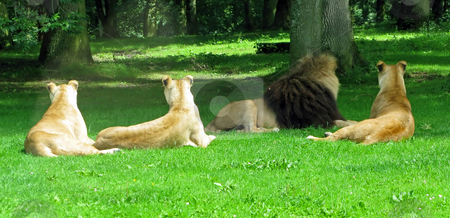 Lion and Lionesses stock photo, A male and 3 female lions laying in the grass. by Lucy Clark
