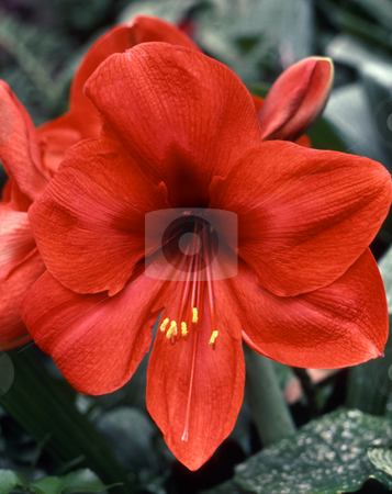 Red Amaryllis stock photo, Red-flowered amaryllis (Hippeastrum species). by Kathy Piper
