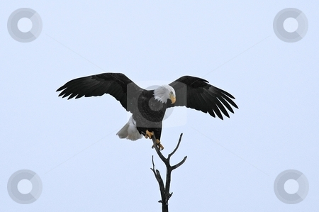 Arriving Bald Eagle stock photo, Bald eagle landing on top branch of tree by Pierre Landry