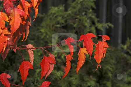 Bright Red Maples Leaves stock photo, Maple Leaves and water droplest close up by Pierre Landry