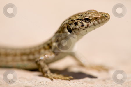 Lizard Macro stock photo, A detail of a maltese wall lizard by Tyler Olson