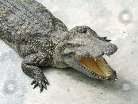Crocodile opening it mouth stock photo,  by Gautier Willaume
