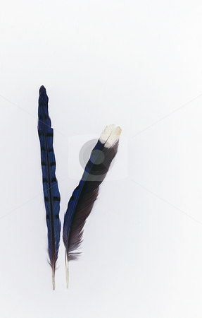 Blue Jay Feathers stock photo, Two blue jay feathers on a white background. by Kathy Piper