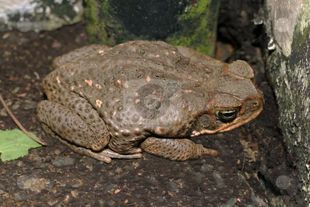 Toad stock photo, A huge brown toad waiting for its prey by Jonas Marcos San Luis