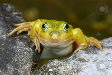 Smiling Frog stock photo, Closeup photo of a very light green frog, who appears to be smiling and posing for the camera by Inge Schepers
