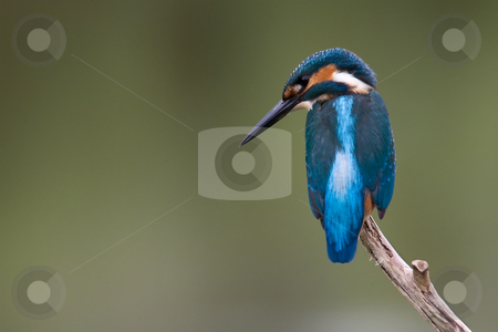 Kingfisher stock photo, Kingfisher (Alcedo Atthis) that's spotted a fish in the water by Inge Schepers