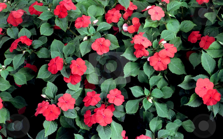 Impatiens Flowers stock photo, Group of red and pink flowered impatiens plants. by Kathy Piper