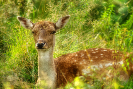 Resting Doe stock photo, A female deer lying in the grass by Richard Nelson