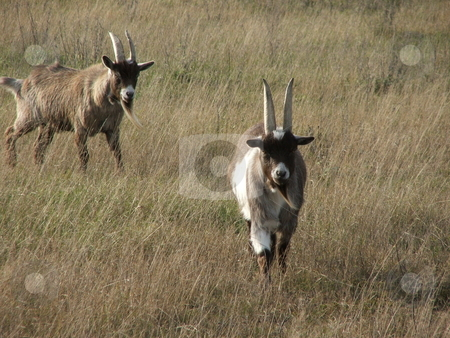 Curious Billy Goats stock photo, Bold billy goats move quickly to protect their turf in an open field by Dennis Thomsen