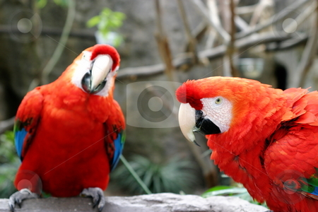 Scarlet Macaws stock photo, The Scarlet Macaws is a large colorful parrot. by Henrik Lehnerer